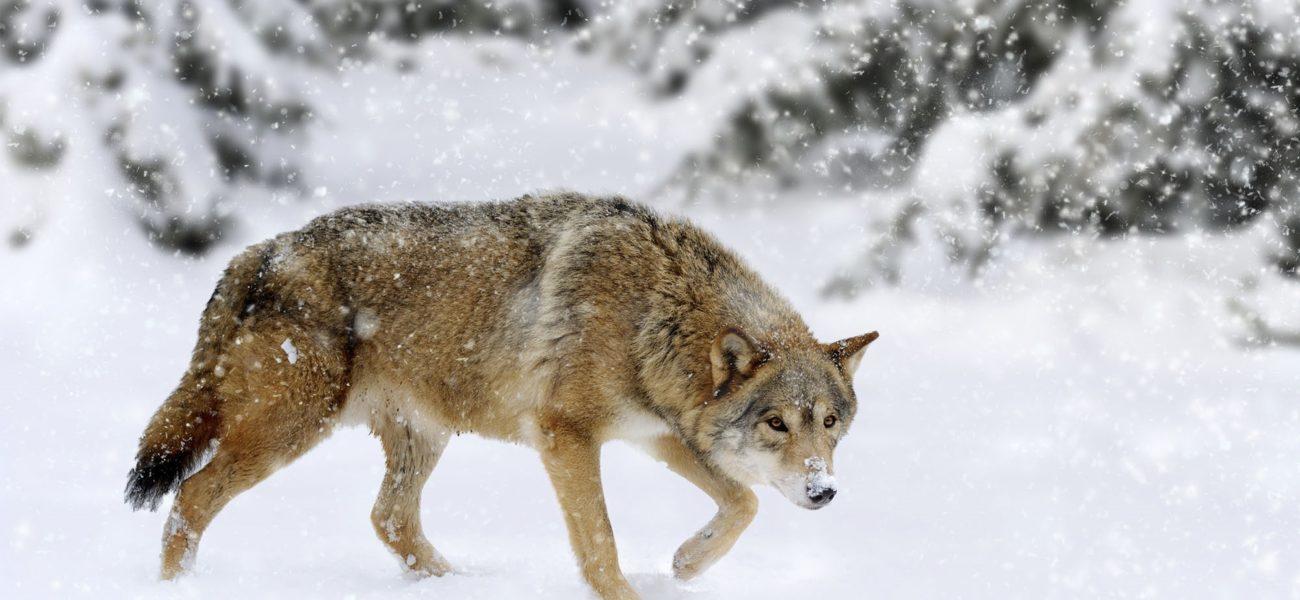 Ulv, ulv!