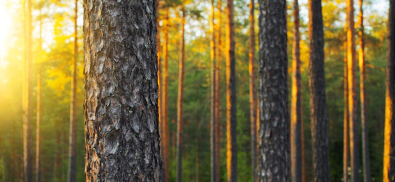 Skogen som klimaløsning